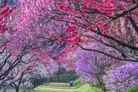 長野県 花桃の里の春