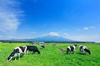 静岡県 朝霧高原 ホルスタイン