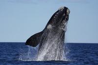 ミナミセミクジラ