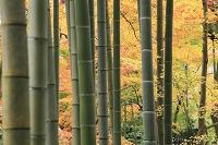 静岡県 修善寺温泉 竹林の小径の紅葉