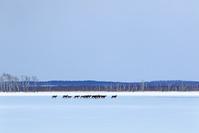 北海道 結氷の野付湾を駆ける牡鹿の群れ