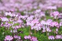 レンゲの花畑