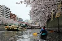 横浜 大岡川 カヤック 桜