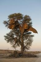 シャカイハタオリのコロニー(巣)