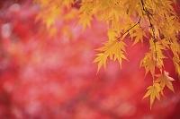 楓の紅葉 日本の色