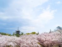 京都 仁和寺の御室桜と五重の塔