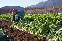 収穫した大根をうねに貯蔵する農夫
