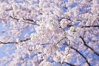 シダレザクラ 日本の花
