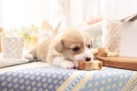 ウェルシュ・コーギー・ペンブローク 犬