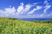 鳥取県 鳴り石の浜 ひまわり畑