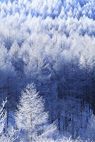 長野県 霧ヶ峰高原 霧氷のカラマツ林