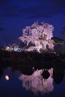 京都府 円山公園 枝垂れ桜ライトアップ
