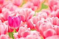 花 チューリップ