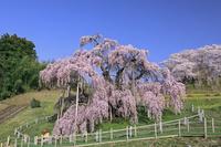福島県 滝桜