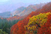 秋田県 湯沢市・栗駒 紅葉の山肌と霧