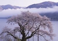 岐阜県 高山市 荘川桜