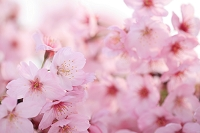 山梨県 山梨市 桃の花