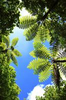東京都 小笠原諸島 母島 固有種のマルハチの木