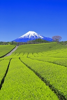 静岡県 富士山と茶畑