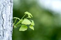新緑のイチョウ(胴吹き芽)