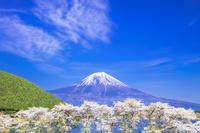 静岡県 富士山と田貫湖のサクラ