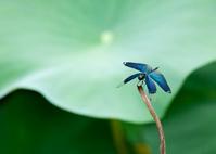 蝶蜻蛉と蓮の葉