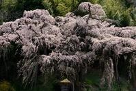 福島県 紅枝垂地蔵桜