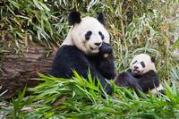笹を食べるジャイアントパンダの親子