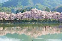 長野県 六郷堤の桜