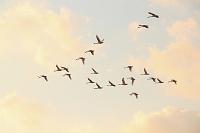冬空を飛ぶ白鳥の群れ