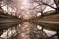 埼玉県 元荒川の桜並木