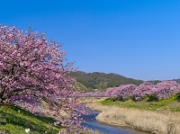 南伊豆 下賀茂温泉の桜