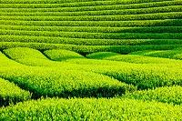 静岡県 茶畑の畝