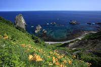 北海道 エゾカンゾウの花咲く島武意海岸