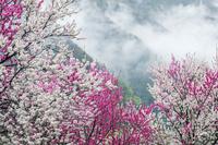 福井県 ハナモモと山霧