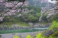 熊本県 球磨川と桜