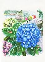 梅雨 アジサイ 水彩画