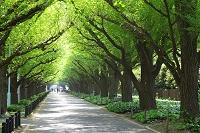 東京都 神宮外苑いちょう並木