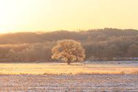 北海道 樹氷のミズナラ一本木