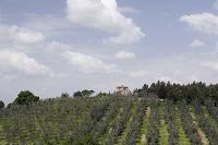 オリーブ畑と家