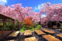 京都府 枝垂桜咲く原谷苑のさくら園