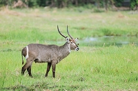ボツワナ モレミ野生動物保護区 ウォーターバック