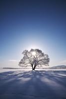 北海道 はるにれの木と太陽 樹氷