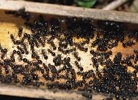 チクシトゲアリの越冬 竹筒