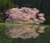 奈良県 夕日に染まる諸木野の桜