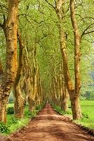ポルトガル サンミゲル島 並木道