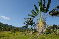 マダガスカル タビビトノキ