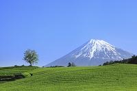 静岡県 大渕 富士山と茶畑