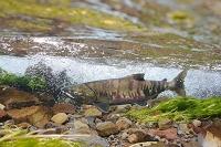 北海道 産卵床にたどり着いた秋鮭