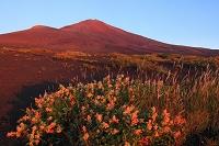静岡県 御殿場口登山道 赤富士とオンタデの花